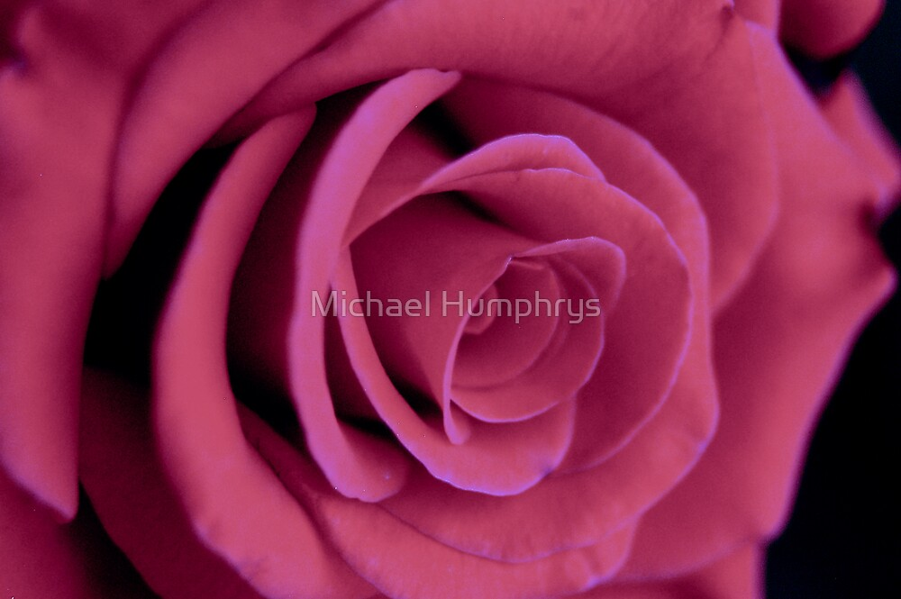 Pink Rose by Michael Humphrys