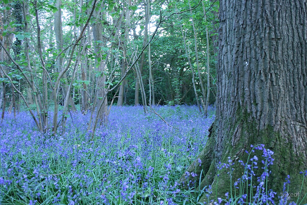 Bluebell Wood by jakeof