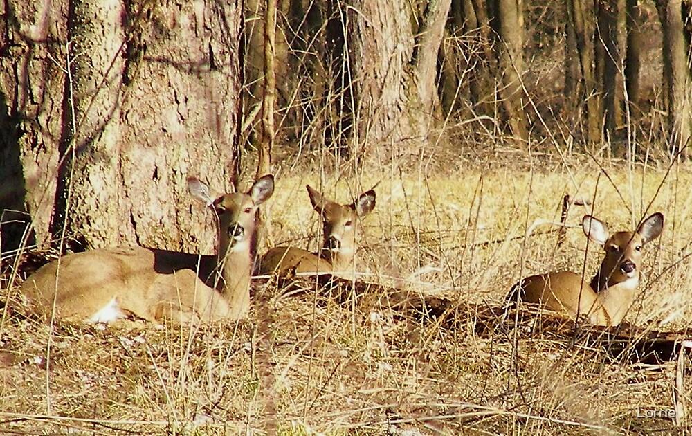 Deer in Illinois by Lorrie