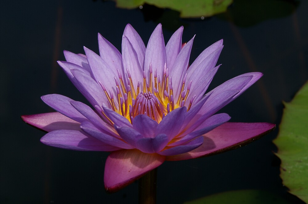 Thai Lotus by LucidTV