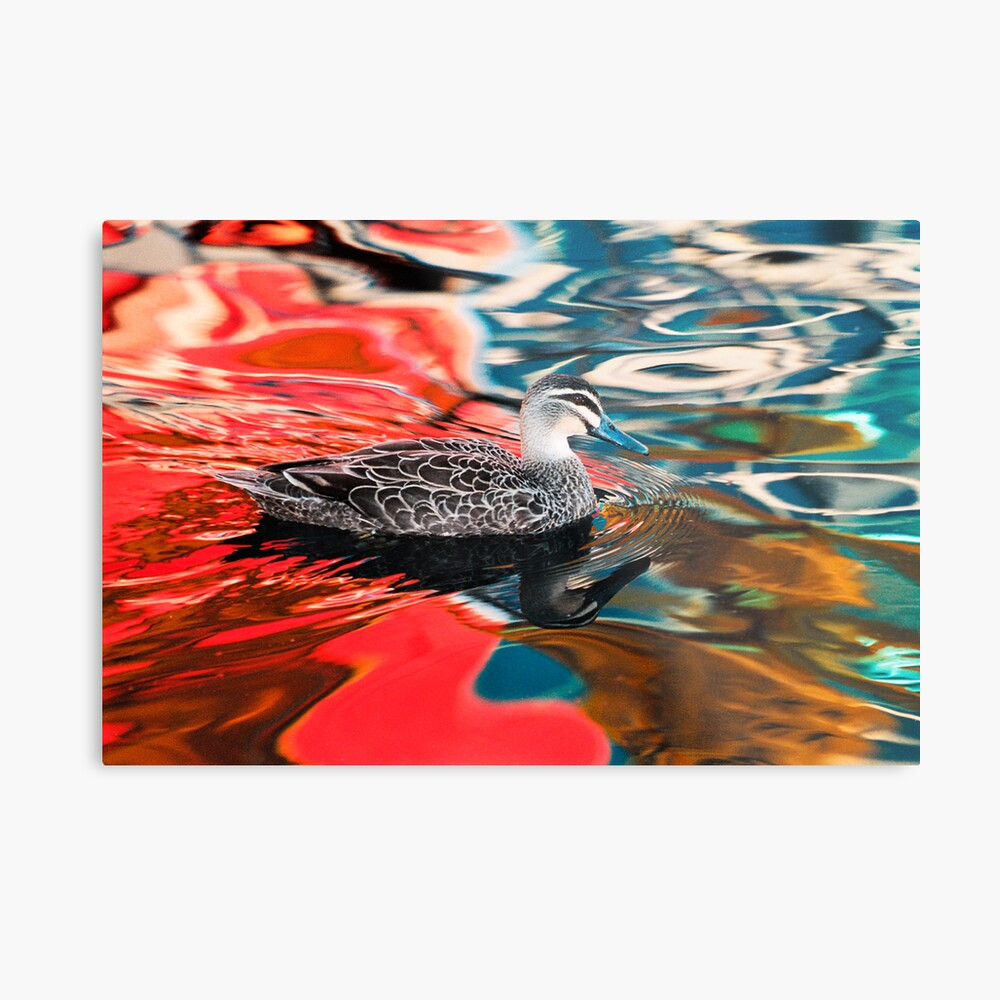 Duck in red water Metal Print
