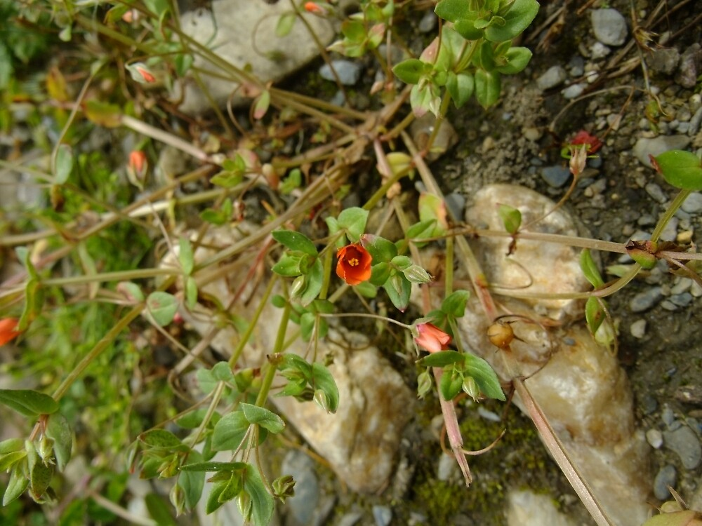 Scarlet pimpernel by IOMWildFlowers