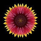Galliardia 'Arizona Sun' by David Bookbinder