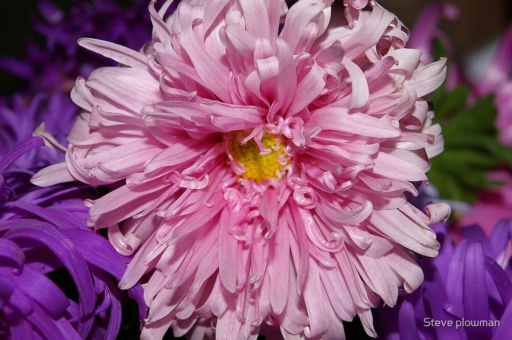 Pink Dahlia by Steve plowman