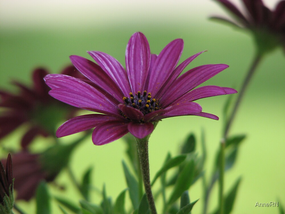 African Daisy by AnneRN
