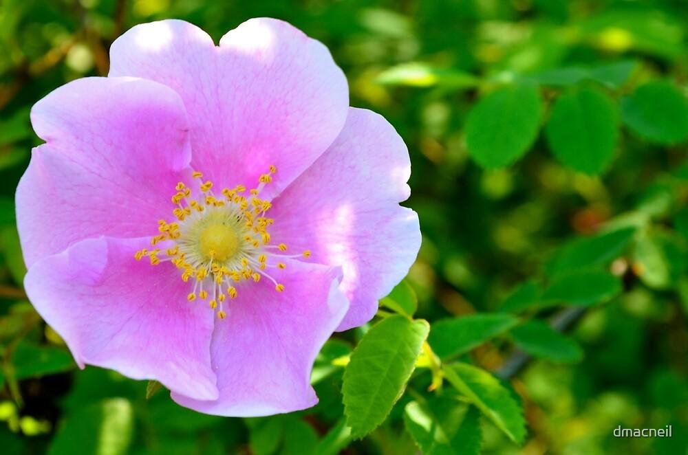 Alberta Wild Rose by dmacneil