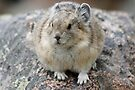 It's a Pika by Betsy  Seeton