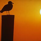 Gull at Sunset by jayobrien