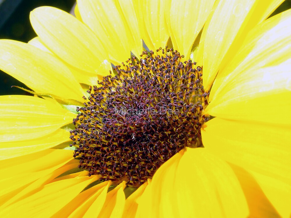 Sunflower in Sun by michelleduerden