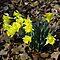 DAFFODILS (Narcissus, Jonquils, Paperwhites)