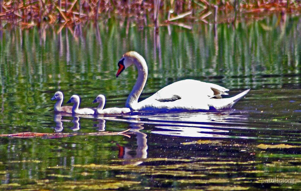 Mute Swan & Cygnets by patti4glory