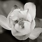 Nelumbo, Black and White by the-novice