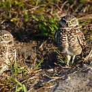 Burrowing Owls by Kent Nickell