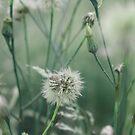 Dandelion by emmajc
