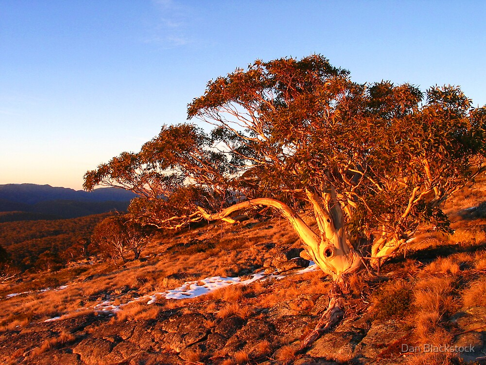 Snowgum at Sunrise by Dan Blackstock