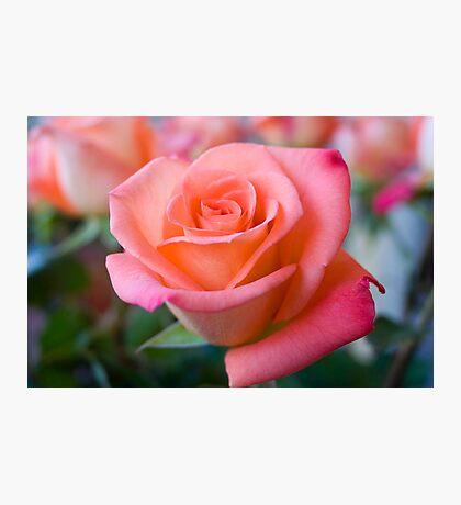 Pink Rose 1 Photographic Print
