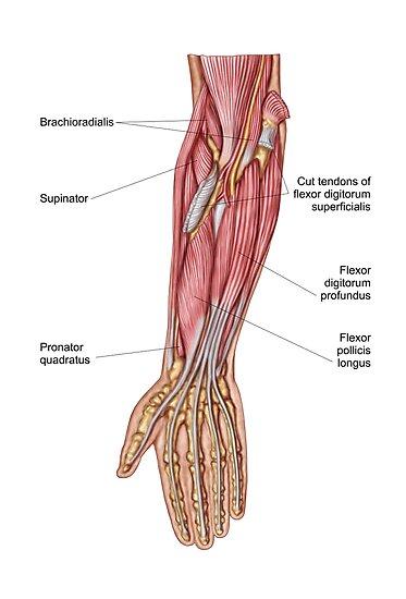 Pósters «Anatomía de los músculos humanos del antebrazo, vista ...