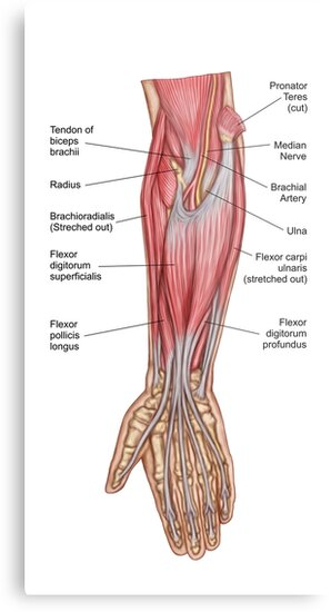 Lienzos metálicos «Anatomía de los músculos del antebrazo, vista ...