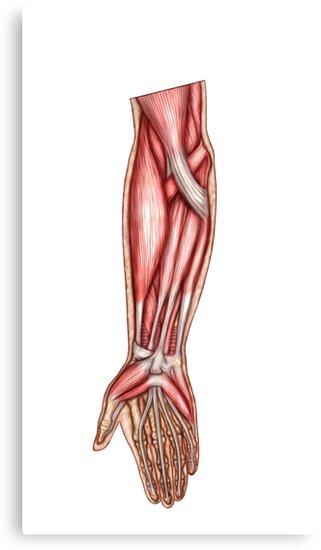 Lienzos «Anatomía de los músculos del antebrazo humano, vista ...
