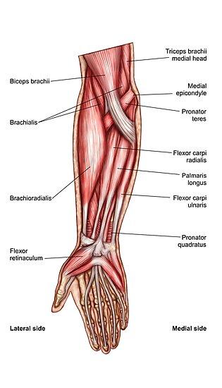 Láminas fotográficas «Anatomía de los músculos del antebrazo humano ...