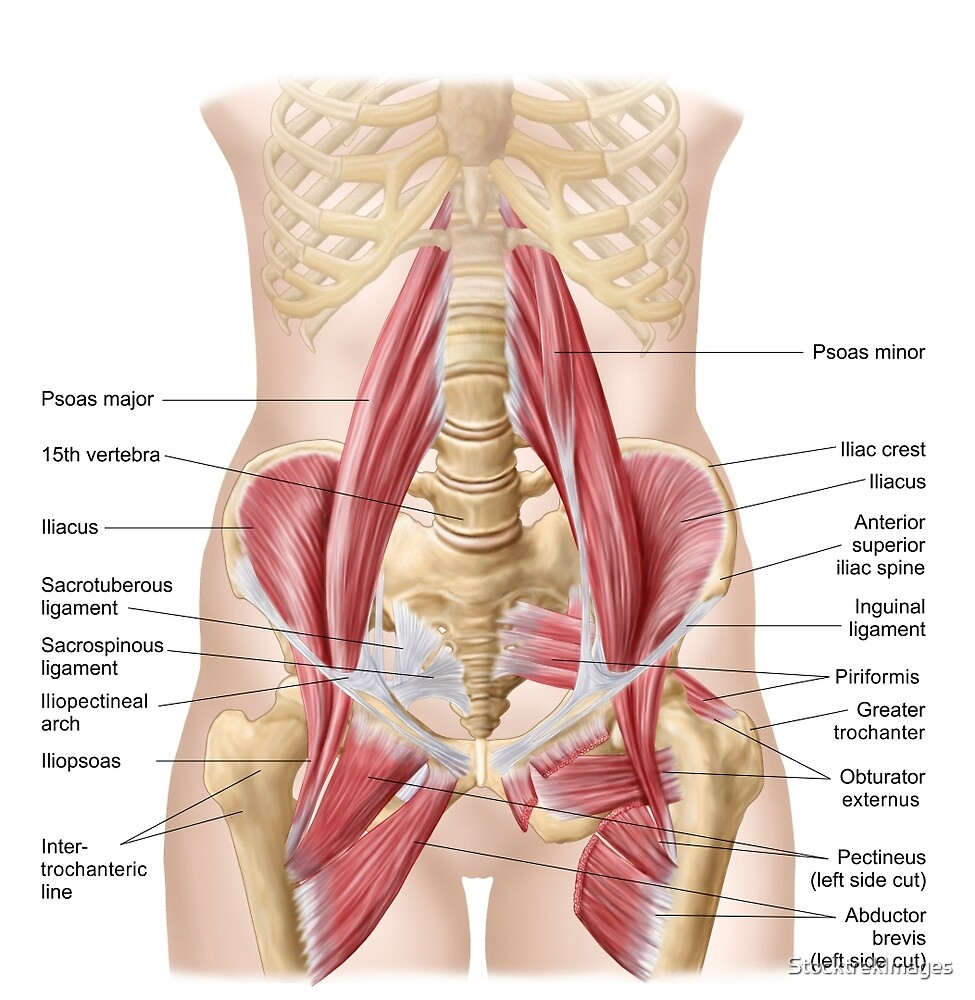 Anatomy of iliopsoa, also known as the dorsal hip muscles.\