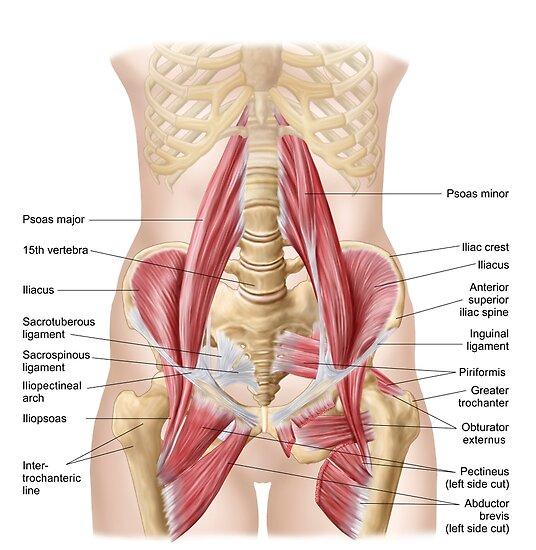 Pósters «Anatomía de iliopsoa, también conocida como los músculos de ...