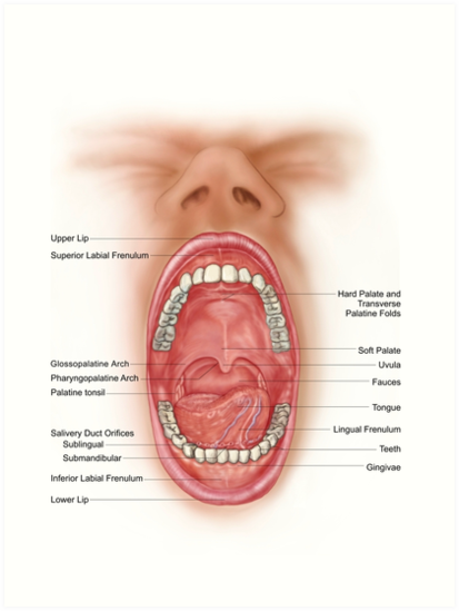 Láminas artísticas «Anatomía de la cavidad bucal humana.» de ...