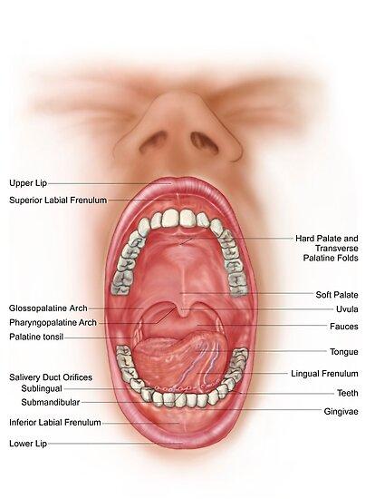 Pósters «Anatomía de la cavidad bucal humana.» de StocktrekImages ...