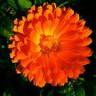 sunburst flower by Laura  Power