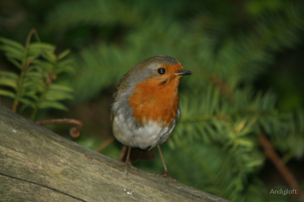 Robin red breast by Andyjloft