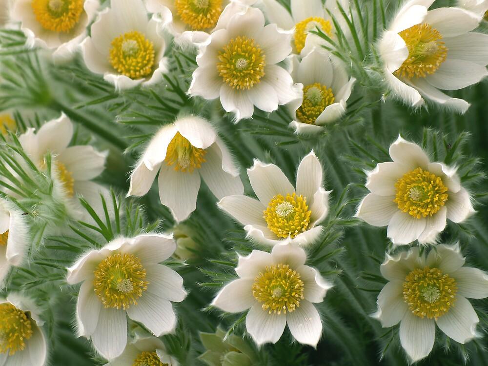 Anemone. by narabia