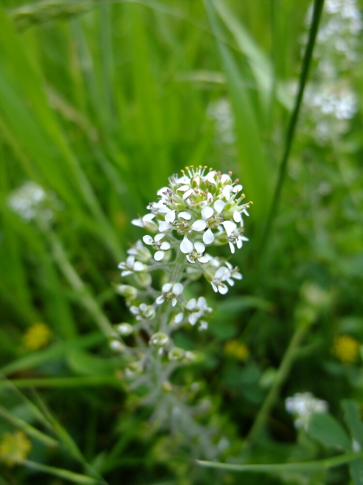Smith's Pepperwort by IOMWildFlowers