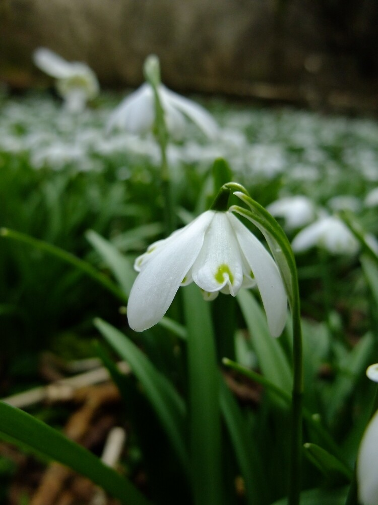 Snowdrop by IOMWildFlowers
