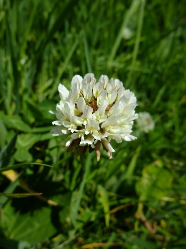 White clover by IOMWildFlowers