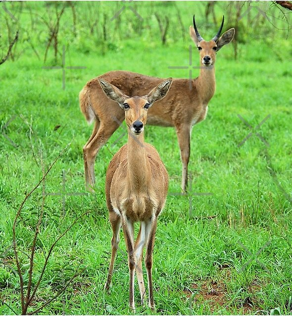 THE REEDBUCK COUPLE – Redunca arundinum by Magriet Meintjes