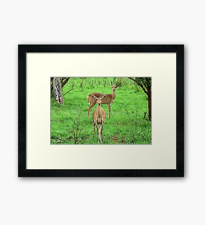 THE REEDBUCK COUPLE – Redunca arundinum Framed Print