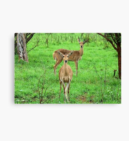 THE REEDBUCK COUPLE – Redunca arundinum Canvas Print