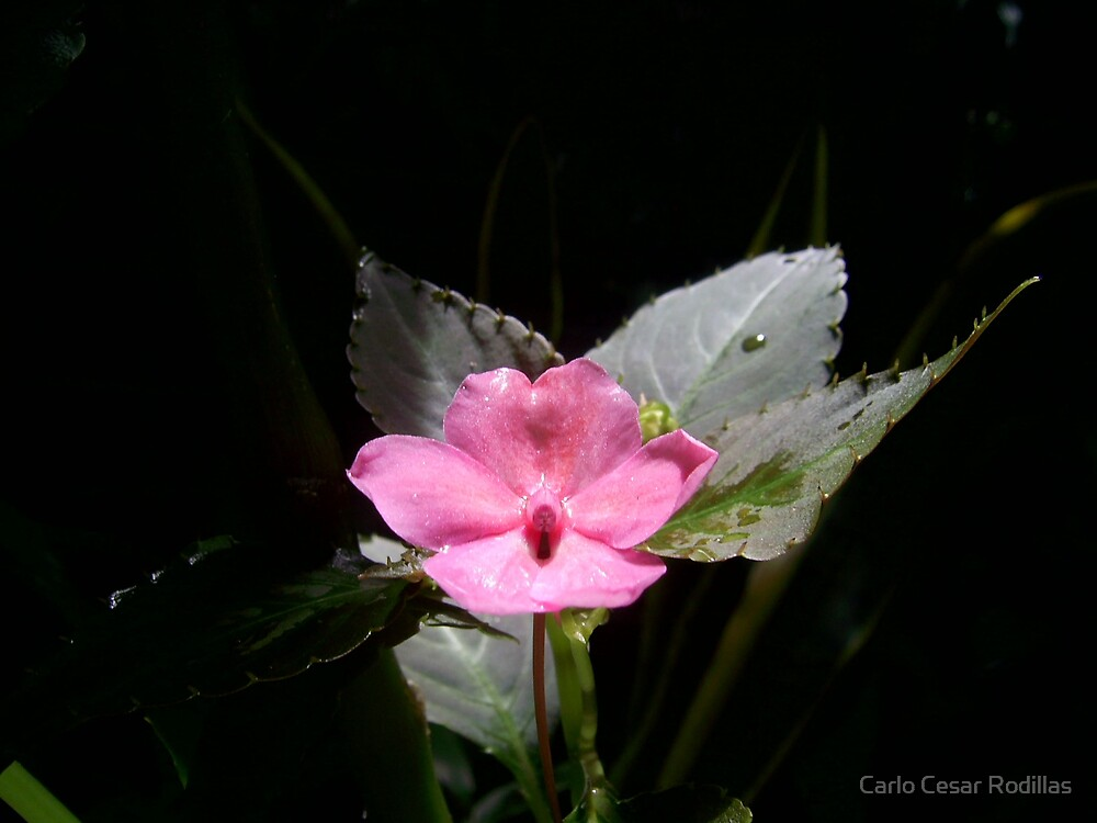 Pink Flower by Carlo Cesar Rodillas