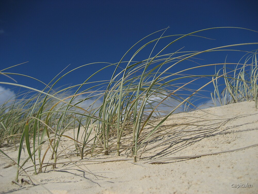 Dune Grass001 by capitalm