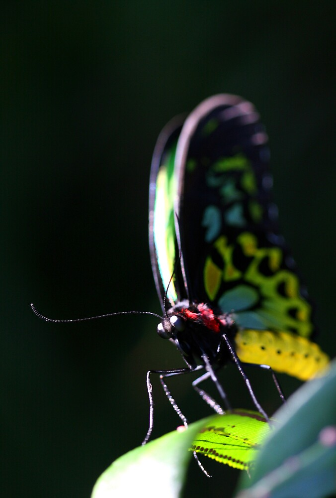 Butterfly #1 by Gavan  Mitchell