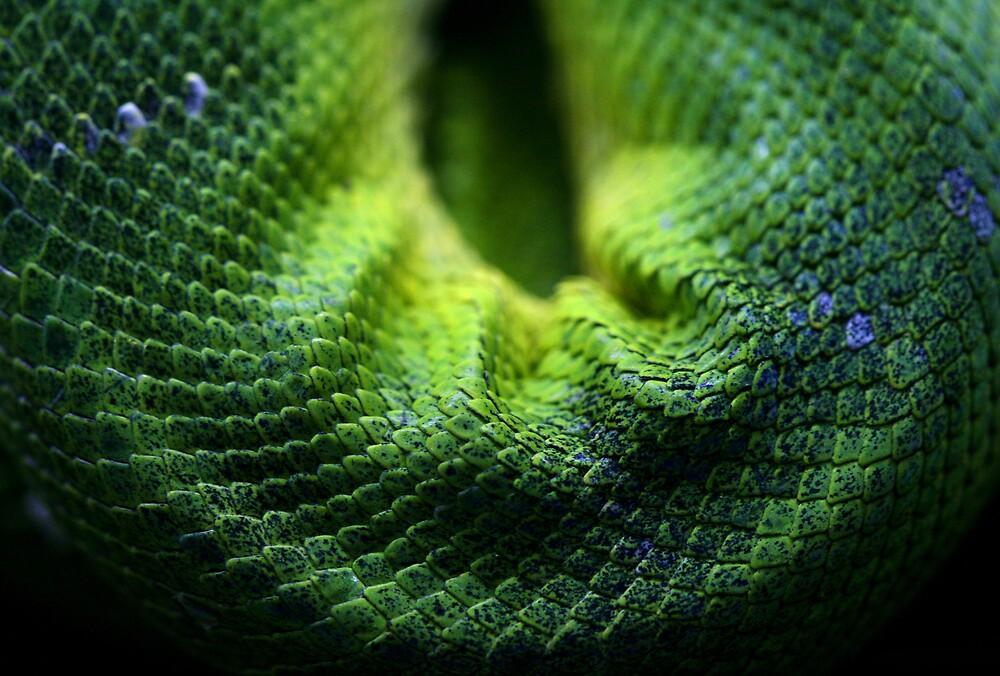 Snake Scales by Gavan  Mitchell