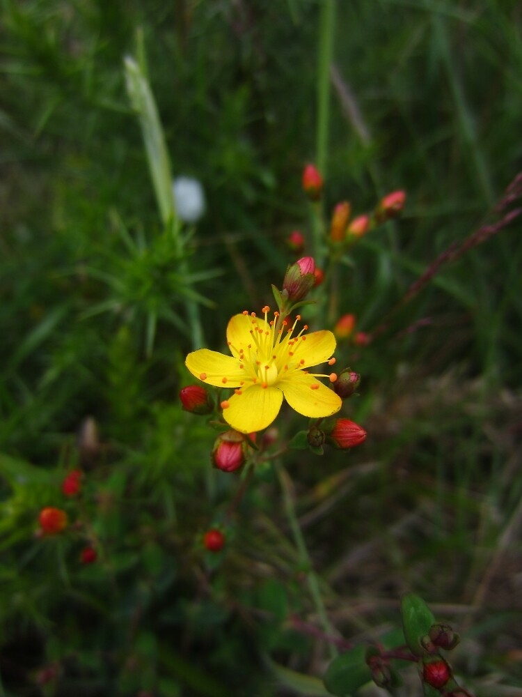 Slender St John's Wort by IOMWildFlowers