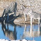Drinking Zebra Reflections by Lauren Thomson