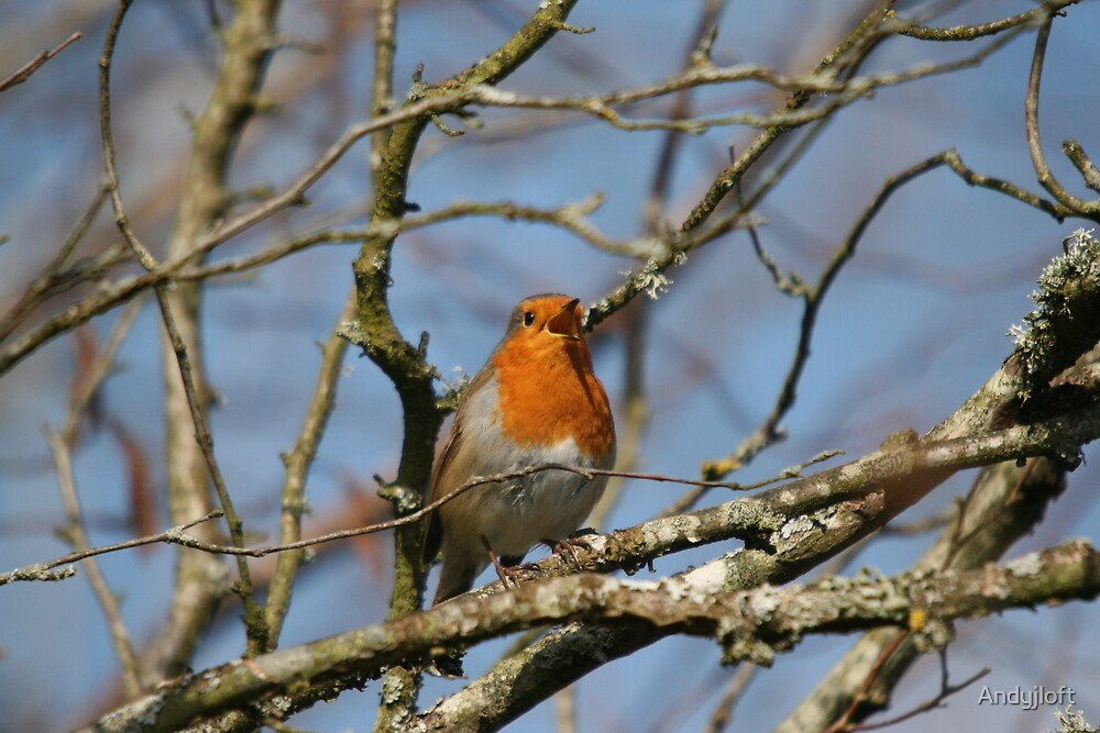 Robin in tree by Andyjloft