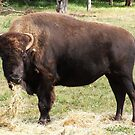 Bull by BevB