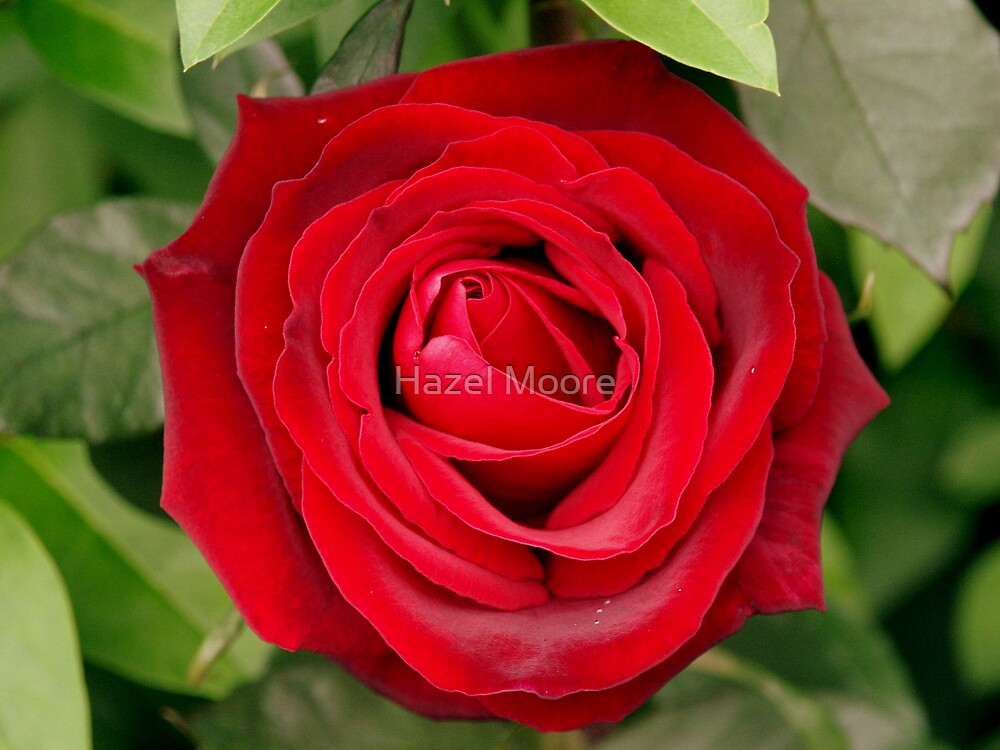 My Love is Like a Red, Red Rose by Hazel Moore