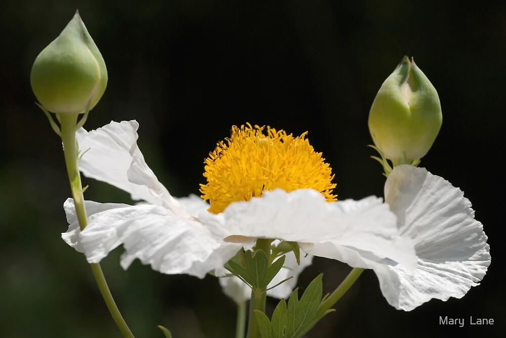 White Poppy by Mary  Lane