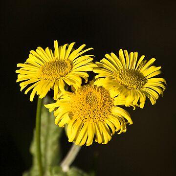Wild Flowers by dozzie