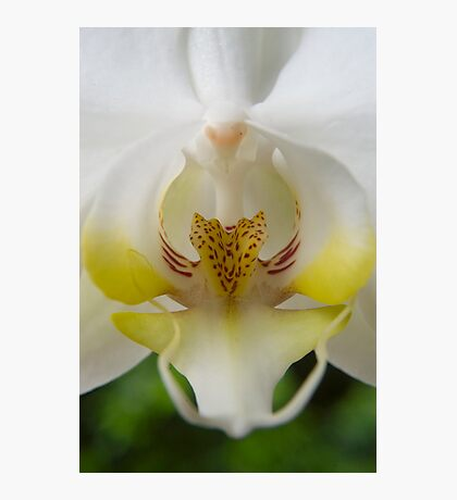 White  Moth Orchid 10 Photographic Print