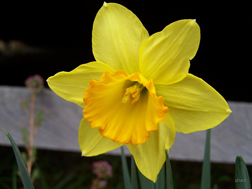 1st Daffodil by shez